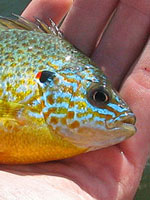 Chemong sunfish