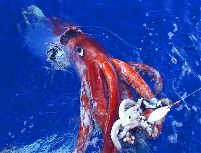First giant squid on video
