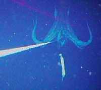 Giant Deep-Sea Squid