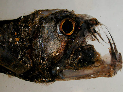 Bizarre Fish in Deep Sea