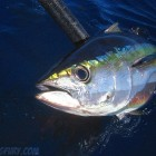 Yellowfin close-up