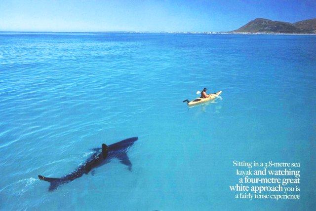 Great White Shark Approaching Kayak