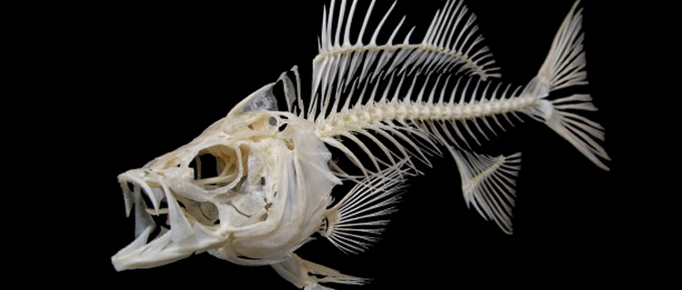 pin fish skeleton tattoos google images search engine on pinterest. Black Bedroom Furniture Sets. Home Design Ideas