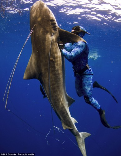 tiger shark fight