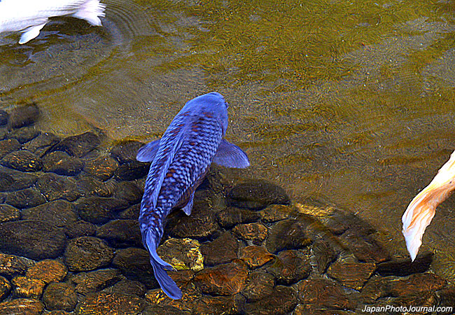 blue koi fishing fury a fishing blog with attitude