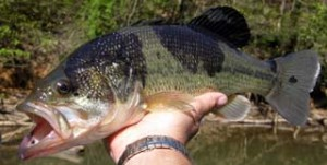 Largemouth bass blotches
