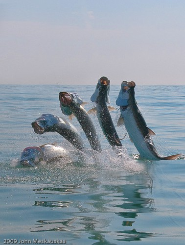 Tarpon Sequence