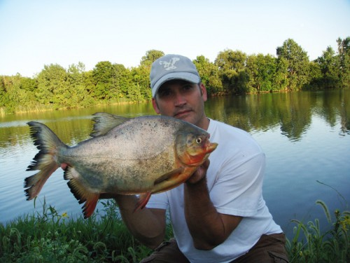 Amazonian Pacu caught in Ohio