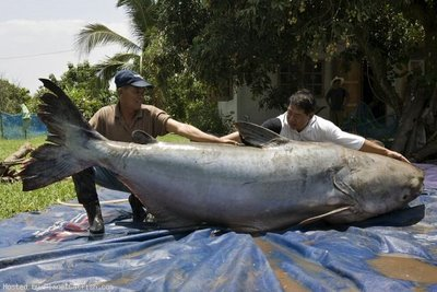 World record Mekong catfish weighing 646 pounds  293 kg  Worlds Biggest Catfish