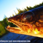 Walleye Close-Up