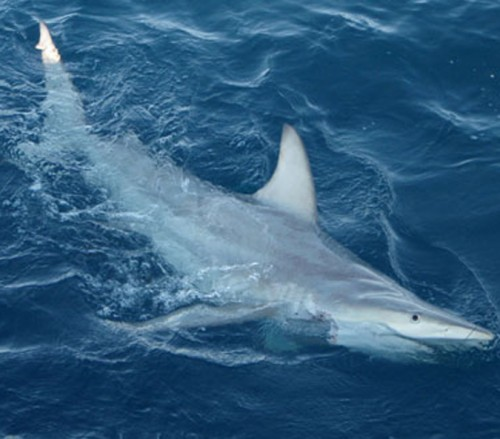 Hybrid Black Tip Shark