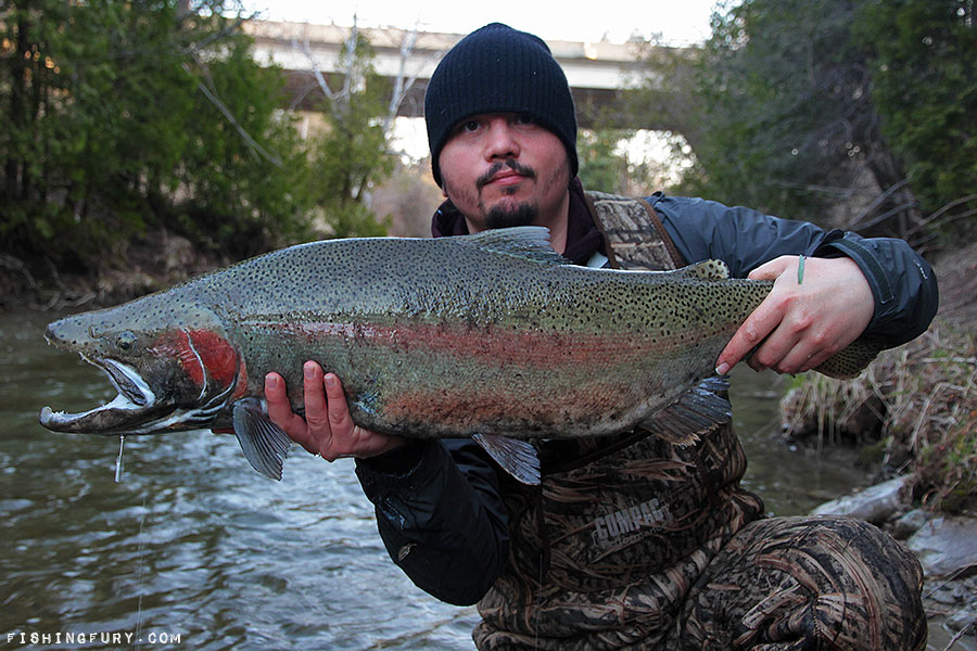 Massive Rainbow Trout
