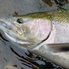 Fresh Steelhead